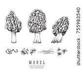 morel mushrooms vector sketch... | Shutterstock .eps vector #755983540