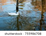 white duck on the pond | Shutterstock . vector #755986708