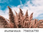 Cortaderia Selloana  Commonly...