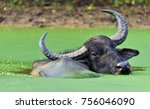 Refreshment Of Water Buffalo. ...