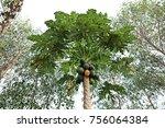 Under View Of Papaya Tree In...