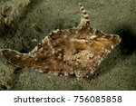 Small photo of Seagrass Filefish - Acreichthys tomentosus