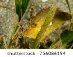 Small photo of Seagrass Filefish green coloring - Acreichthys tomentosus