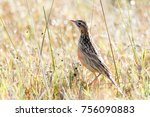 rosy throated longclaw in brown ... | Shutterstock . vector #756090883