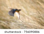 rosy throated longclaw in brown ... | Shutterstock . vector #756090886