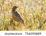 rosy throated longclaw in brown ... | Shutterstock . vector #756090889