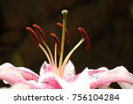 Close Up Of Pink Lily With A...