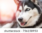 Siberian Husky Dog Portrait...
