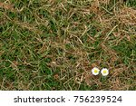 daisies growing in the grass | Shutterstock . vector #756239524