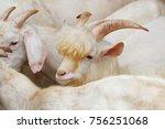 saanen goat   a famous domestic ... | Shutterstock . vector #756251068