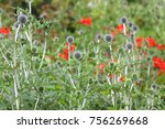 sea holly flowers in the garden | Shutterstock . vector #756269668