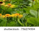 yellow buphthalmum flowers | Shutterstock . vector #756274504