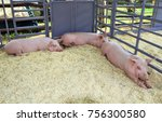 Three Pigs In The Pen