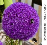 Two Bumble Bees On A Large...