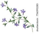 watercolor sprig of periwinkle. | Shutterstock . vector #756393283