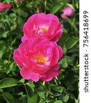 pink rose flower   Shutterstock . vector #756418699