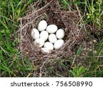 Nest Of Duck Eggs