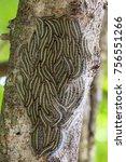 oak processionary moth  ... | Shutterstock . vector #756551266