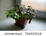 Fittonia Plant In Red And Gree...