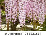 Light Pink Of Wisteria In...