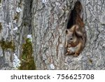 squirrel sits in the hollow of... | Shutterstock . vector #756625708
