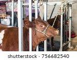 show calves being prepared for... | Shutterstock . vector #756682540