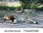 lion brothers sleeping in shade ... | Shutterstock . vector #756685588