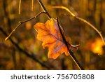 Dry Fallen Leaf Of An Oak Stuc...