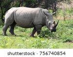 Northern white rhinoceros ...