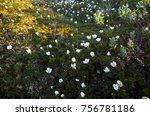 spring flowering cloudberries... | Shutterstock . vector #756781186