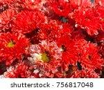 closeup red vibrant mum or...   Shutterstock . vector #756817048