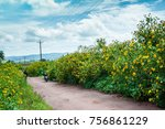wild sunflowers or mexico...   Shutterstock . vector #756861229