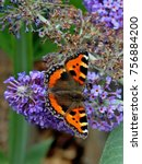 Small photo of Small Tortoiseshell Butterfly Aglais urticae