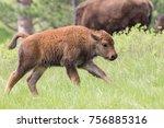 Baby Buffalo On The Run