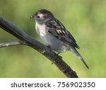 Small photo of Portrait of Sind Sparrow Female