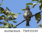 Small photo of Female of Sind Sparrow sitting on Tree Branch