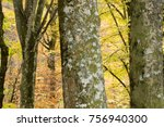 ancient beech tree forest in... | Shutterstock . vector #756940300