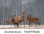Red Deer Stag In Winter. Winter Wildlife Landscape With Herd Of Deer (Cervus Elaphus). Deer With Large Branched Horns On The Background Of Winter Forest.  Stag Close-Up, Artistic View. Trophy Deer