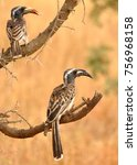 Small photo of Pair of African Grey Hornbil (Tockus nasutus) one of which has caught a locust