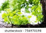 closeup of ginkgo biloba leaves | Shutterstock . vector #756970198