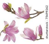 beautiful magnolia isolated on...   Shutterstock . vector #75699262