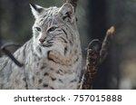 lynx gazing around at his...   Shutterstock . vector #757015888
