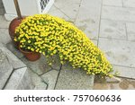 small yellow ivy planted in... | Shutterstock . vector #757060636