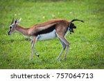 photo of a thomson's gazelle... | Shutterstock . vector #757064713