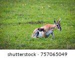 photo of a thomson's gazelle... | Shutterstock . vector #757065049