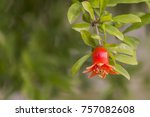 pomegranate flowers and green... | Shutterstock . vector #757082608