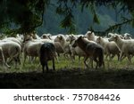 wolf pack hunting a sheep  | Shutterstock . vector #757084426