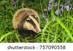 badger cub in bluebells  small... | Shutterstock . vector #757090558