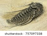complete pyritised leonaspis ... | Shutterstock . vector #757097338