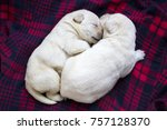 Stock photo two snuggling labrador retriever puppies on a plaid shirt two weeks old 757128370